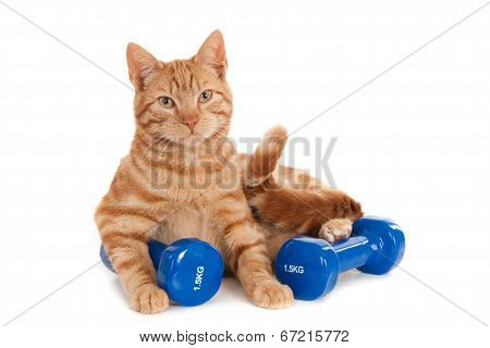 Ginger cat with dumbbells