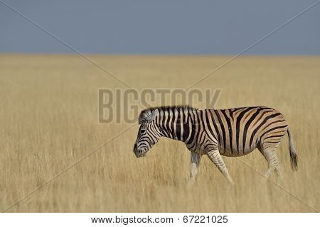 Zebra walking in grass plains in Etosha