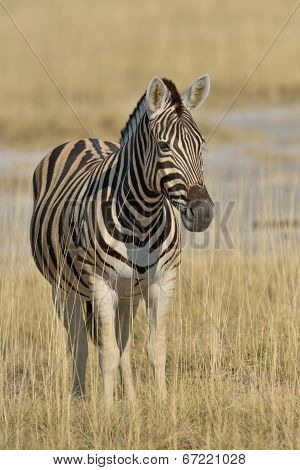 Zebra resting in the grass plains