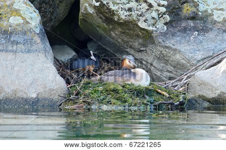 Crested grebe and eurasian coot ducks on nest