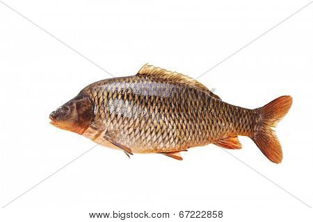 Large specimen of raw common carp isolated on white background