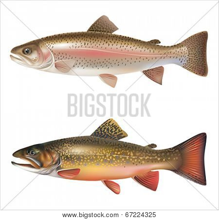 Rainbow trout and brook trout isolated on white. Vector eps 10.
