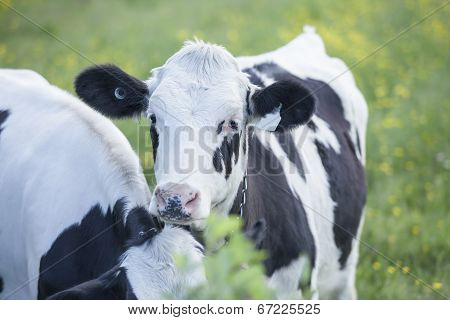 Young Holstein heifers in pasture