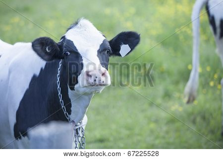 Young Holstein heifer in pasture