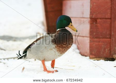 A Mallard Drake In Winter