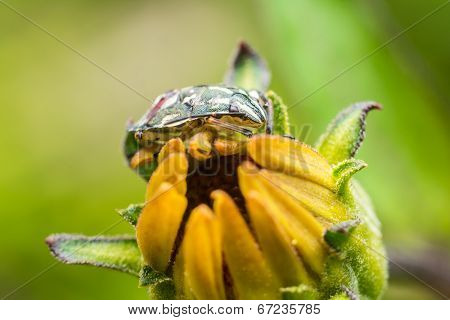 Shield Bug On Yellow Flower