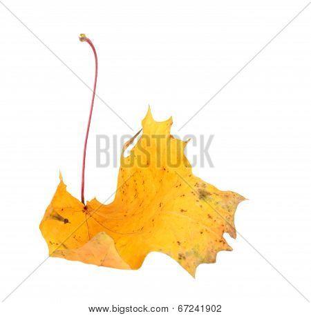 Yellow Maple-leaf