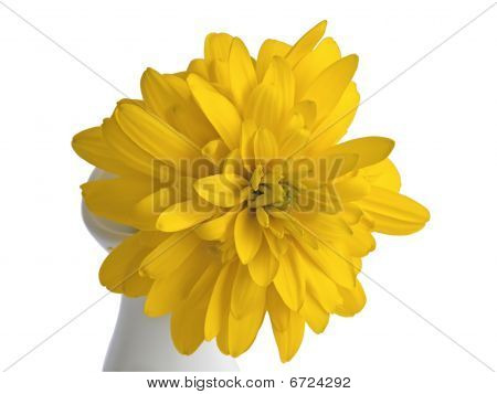 Yellow chrysanthemum on a white