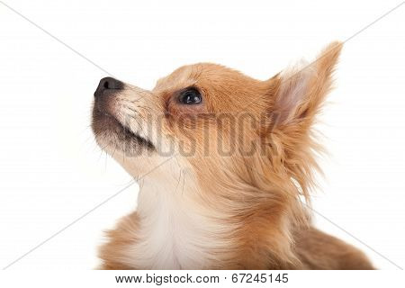 Long Haired Chihuahua Puppy Dog Looking Up