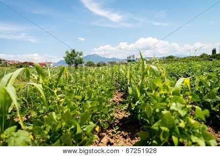 Agriculture Vegetable Garden