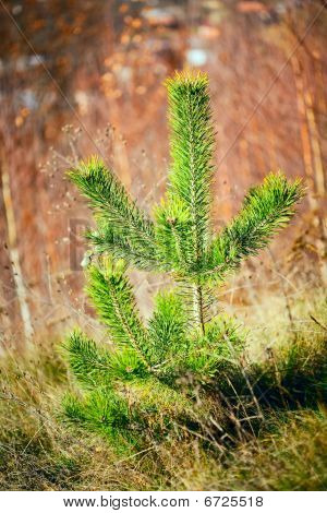 Baby Pine Tree In A Forest