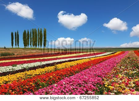 Field of multi-colored decorative buttercups