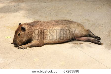 Sleeping young capybara