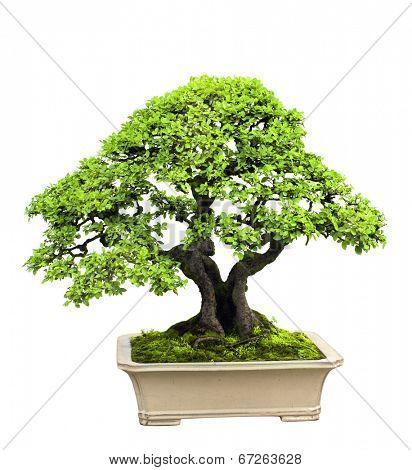 Bonsai. Isolated on white background