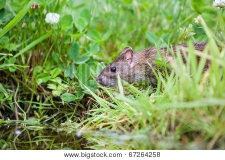 Nature Whit Rat