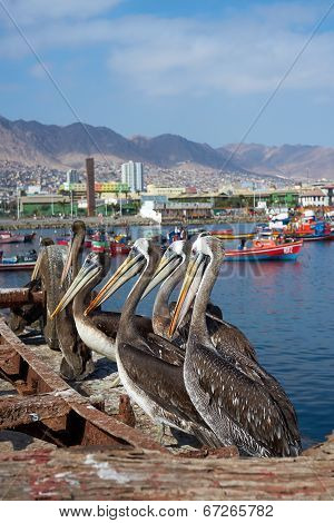 Pelicans on the Dockside