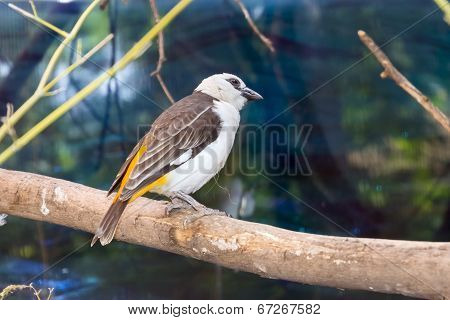 White-faced Buffalo-weaver (dinemellia Dinemelli)