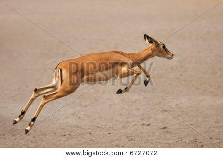 Execução de Impala affinis