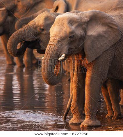 Elefantes beber