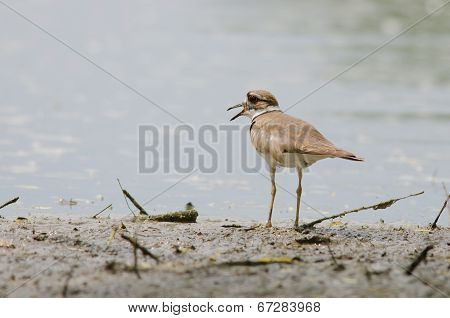 Killdeer On Beach