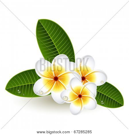 Vector illustration - Plumeria flowers on white