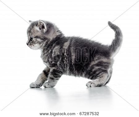 Funny Walking Black Cat Kitten Isolated On White