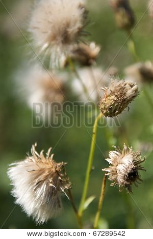 Dry Fluffy Flowers