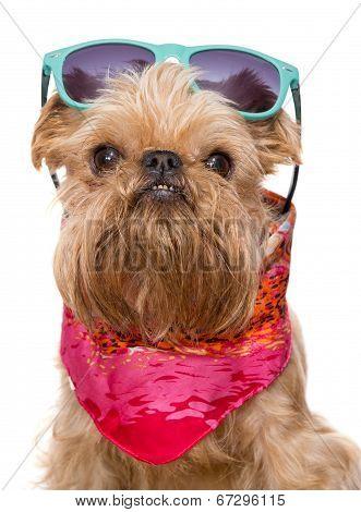 Brussels Griffon In Sunglasses
