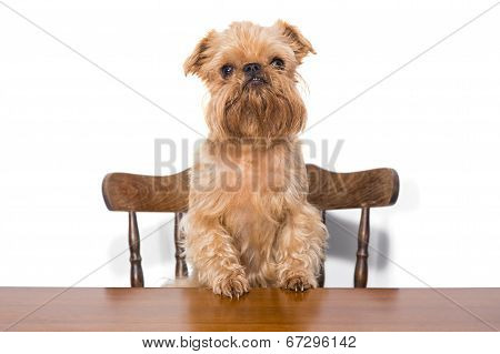 Brussels Griffon On The Chair
