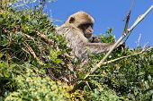 stock photo of gibraltar  - A Barbary macaque feeds on leaves near the summit of Gibraltar.