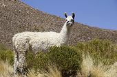 image of lamas  - Lama shot in Bolivia - JPG