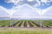 stock photo of photosynthesis  - Paprika in Greenhouse farming healthy organic food - JPG