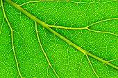 picture of photosynthesis  - structure of leaf natural background - JPG