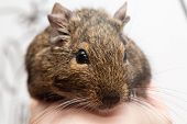 picture of gopher  - cute degu pet on the human hand closeup - JPG