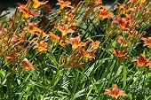 pic of day-lilies  - Day lilies are rugged - JPG