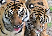 stock photo of tigress  - A tigress seen with her nearly full grown cub