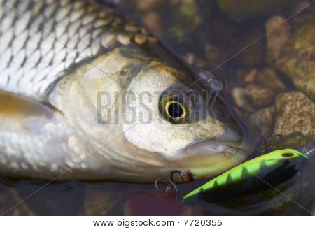Head Of Chub With Hardbait