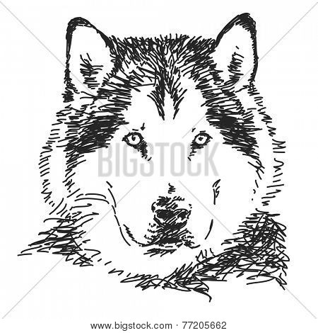 Husky dog portrait, Vector sketch, Hand drawn illustration