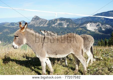 Donkeys on a pasture