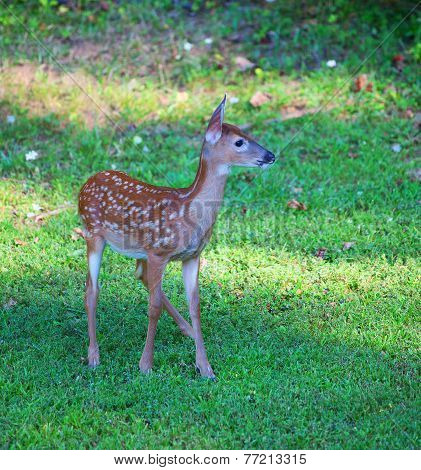 Young Fawn