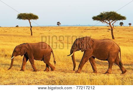 African Elephants (Loxodonta africana) on the Masai Mara National Reserve safari in southwestern Kenya.