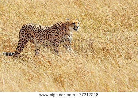 Cheetah (Acinonyx jubatus) on the Masai Mara National Reserve safari in southwestern Kenya.