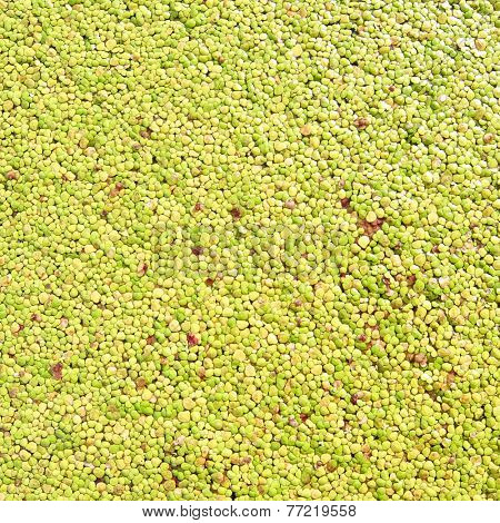 Green organic background Small duckweed floating grass