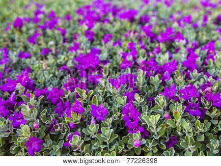 background small purple flowers