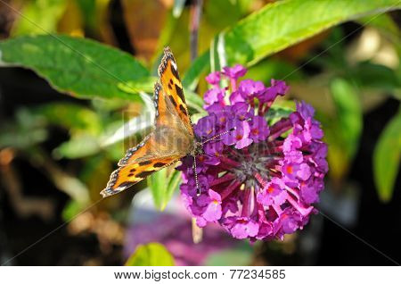 Tortoiseshell butterfly on Buddleja.