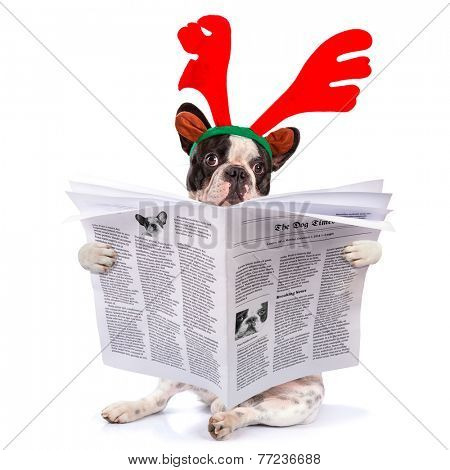 French bulldog dressed as reindeer Rudolph reading newspaper