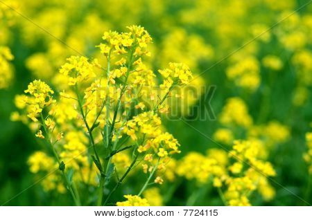Yellow Wild Flowers (bittercress) In Macroview.