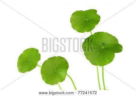Green Herb Centella Of Wetland