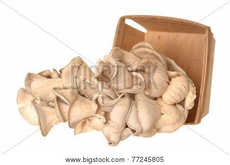 Pleurotus Eryngii Mushroom