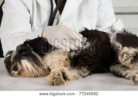 Dog On Veterinary Examination